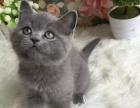 猫舍直销出售 英国短毛蓝猫 渐层 蓝白 可送货