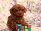 犬舍长期繁殖可爱玩具体泰迪出售