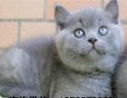 家养出售英短银渐层 蓝猫 加菲猫 金吉拉等保健康