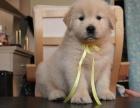 正规犬舍繁殖出售赛级/宠物级黄金血系金毛包养活