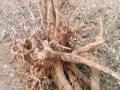 根雕出售香樟根一个,根雕