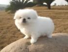 南宁哪有京巴犬卖 南宁京巴犬价格 南宁京巴犬多少钱
