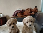 家养小玩具泰迪狗