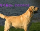 便宜出售家养纯血统金毛拉布拉多哈士奇阿拉斯加比熊萨摩成公母犬
