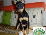小鹿犬幼犬,小鹿犬多少钱一只
