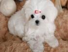 本地马尔济斯幼犬繁殖基地 多只精品宝宝可选