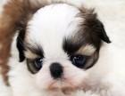 情人眼里出西施.健康超级可爱西施犬出售啦.可送到家