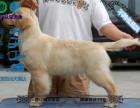 高端赛级金毛犬大头宽嘴大毛量大骨架金毛 可免费送货