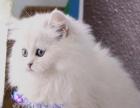 超萌可爱金吉拉猫咪出售品相好价格合理