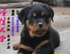 出售高品质罗威纳幼犬质量三包 可签协议