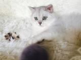 猫舍出售纯种银渐层幼崽 价格不高
