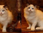 成都哪里布偶猫幼崽的成都布偶猫多少钱一只成都哪有里宠物店