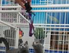 自家养英短蓝猫四母一公六个月