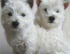 高品质西高地幼犬 完美品相 品质第一 可签保障协议