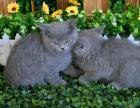 英短蓝猫一只大胆好奇兼温柔猫咪包品质