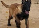 马犬繁殖基地出售纯种赛级爆红马犬 保纯保健康兴奋度高 带血统