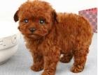 泰迪贵宾犬 玩具茶杯体幼犬 红白黑灰色 宠物狗活体