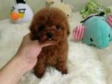 西安狗狗之家长期出售高品质 拉布拉多 售后无忧