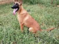 常年出售各种猛犬猎犬如马犬杜高卡斯罗格力犬罗威纳中华狼青等