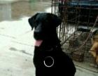 家养的拉布拉多幼犬喜欢的说话