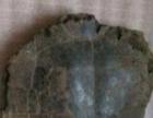 茂名无盾龟化石