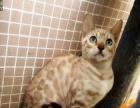 纯种F4孟加拉豹猫 水貂色雪色母猫