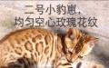 纯种超级品相豹猫