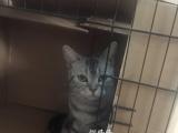 美短标斑幼猫出售一公一母