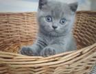 临沂本地宠物猫舍出售宠物猫英短蓝猫蓝白布偶猫本地正规猫舍卖