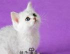 英短宠物猫英短宠物猫蓝白英短蓝白活体宠物猫英短幼