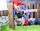 青岛哪里有宠物狗卖可爱巴哥幼犬宝宝出售囧字脸