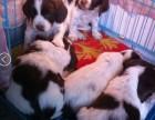 英国史宾格幼犬一窝出售