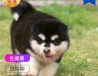 哪里有卖阿拉斯加犬阿拉斯加犬多少钱 支持全国发货
