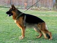 泸州哪里有出售牧羊犬幼犬的 纯种牧羊犬幼犬多少钱一只