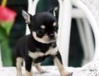 银川纯种吉娃娃犬价格,银川哪里能买到纯种吉娃娃犬