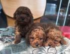 自家生产2个月小体型棕色纯种泰迪狗待售