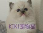 猫舍出售布偶猫活体 海豹双色兰双色山猫纹长毛宠物猫