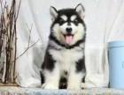 纯种阿拉斯加雪橇犬 极地品质 多色选择 质量保证