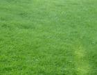 优质草坪种子批发,四季青,护坡草,狗牙根,黑麦草,