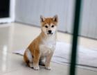兰州哪里有犬舍卖柴犬 兰州纯种日系柴犬怎么卖 日系柴犬出售
