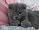 折耳英短蓝猫妹妹8个月