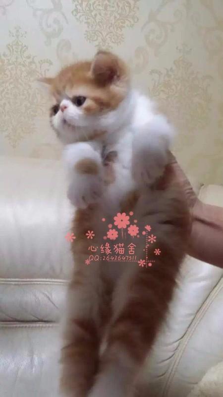 兰州宠物 兰州哪里的加菲猫较便宜 纯种加菲猫一般卖多少钱一只