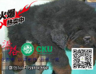 大狮头长毛藏獒高品质 薪火怪兽标准牛系保纯保健康