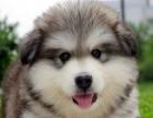 犬舍直销纯种健康可爱的泰迪 血统终身保障 犬舍直销纯种健康
