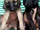 哪里有卖阿富汗猎犬的,阿富汗猎犬多少钱一只