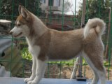 纯种的哈士奇多少钱 宠物店的狗靠谱吗