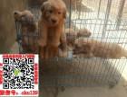 台州宠物店出售纯种金毛幼犬包健康可上门看狗