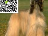 哪里有卖阿富汗猎犬 阿富汗猎犬多少钱 阿富汗猎犬