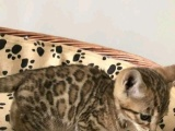 俩月豹猫弟弟妹妹1300 猫咪价格以标题价格为