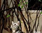 出售家养美国短毛猫,银色虎斑弟弟